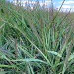 Forage Pasture Seeds / Forage Seeds / Pasture Seeds / Forage grass